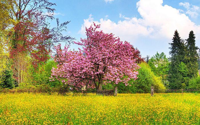 [wallcoo_com]_Cherry_Tree